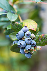 Organic Blueberries, Oakland, California USA (takasphoto.com) Tags: angiosperms asterids azul berries berry blue blueberries blueberry color cyanococcus ericaceae ericales eudicots flower floweringplant flowers fruit fruits fruta fuji fujifilm fujinon fujinonxf60mmf24r fujinonxf60mmf24rmacro greenplants kingdomplantae lens macro macrophotography macrofotografia macrofotografía mirrorless nature outdoor perenial photography plantae vaccinium fotomacrografía macrolens macrography photomacrography reproductionratio макросъёмка съёмка צילוםמאקרו تصويرالماكرو くだもの クローズアップ フジノン フルーツ ブルーベリー ベリー マクロ マクロレンズ マクロ撮影 微距攝影 接写 果実 果物 植物 自然 被子植物 近接撮影 青 fujifilmx fujix