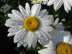 Morning on the Block (Bob90901) Tags: morning summer flower canon portland outdoor maine july dew daisy block shastadaisy 2016 sooc sx700hs rpg90901