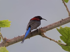 Black-throated Sunbird _  -22  (mahi mahi 163) Tags: sunbird 600mm  china