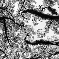 Above South Blvd No. 11 (Mabry Campbell) Tags: trees blackandwhite usa abstract nature monochrome up vertical landscape photography photo texas photographer unitedstates image branches unitedstatesofamerica fineart houston 1600 hasselblad f90 photograph liveoak april 24mm squarecrop oaktrees fineartphotography 2016 northblvd commercialphotography harriscounty liveoaktrees southblvd westuniversity intimatelandscape sec mabrycampbell h5d50c hcd24 april222016 abovesouthblvd 20160422campbellb0001283