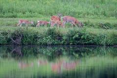 DSC_1018-1 (bjf41) Tags: deer whitetail fawn pond