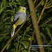 Long-tailed Sylky-Flycatcher, Ptiliogonys caudatus