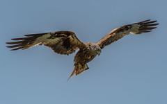 This is my Kestrel look (davidrhall1234) Tags: bird nature birds nikon wildlife yorkshire flight leeds feather raptor birdsofprey falconry redkite harewood rspb yorkshirewildlifetrust ywt birdsofbritain nikond7100