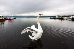 Lake Yamanaka (Koku85) Tags: swan nature bird closeup lake natur