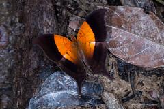 Butterfly Marpesia furcula (Almir Cndido de Almeida) Tags: borboleta lepidoptera inseto insecta butterfly amazonia amazon rain forest floresta alta mt marpesia furcula