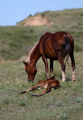 Nap Time (sarasonntag) Tags: mare foal autumn colt missouri theodore roosevelt national park medora north dakota summer grazing