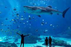For the Love of the Ocean (photogenicZ) Tags: nikon coolpix coolpixa gaaquarium oceanvoyager ocean fish whaleshark silhouette sea life aquarium shark water underwater nature love awe amazement