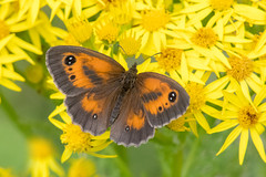 Gatekeeper (Tim Melling) Tags: pyronia tithonus gatekeeper hedge brown timmelling aberrant west yorkshire