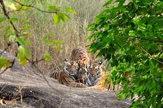 DSC_3199 (ajwhitehead1979) Tags: bengaltiger bhandavgarh india royalbengaltiger tiger