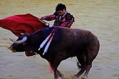 El Toro (Fotomondeo) Tags: cayetano matador torero toro toros plazadetoros corridadetoros bull bullfight bullfighter bullring alicante alacant espaa spain hoguerasdesanjuan fogueres