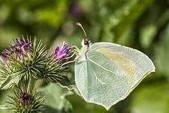 Gonepteryx cleopatra (Jaume Bobet) Tags: gonepteryx cleopatra lepidoptera pieridae mariposa insecto macro bobet canon sigma
