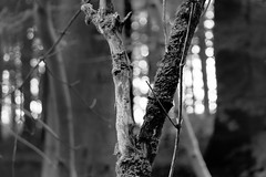 woodlight (pat.netwalk) Tags: tree trees wood blackandwhite copyrightpatrickfrank light bokeh