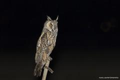 Bufo-pequeno, Long-eared Owl (Asio otus) (xanirish) Tags: bufopequeno longearedowlasiootusemliberdadewildlifenunoxavierlopesmoreira ngc nhc wildlife nocturna prey nuno xavier moreira natureza selvagem liberdade portugal lezirias asiootus longearedowl