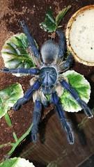 Monocentropus balfouri (Socotra Island Blue Baboon) (tisha.ph) Tags: monocentropus balfouri socotra island blue baboon tarantula spider arachnid invertebrates
