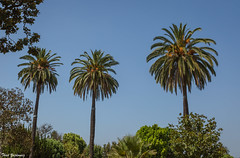 Three (in Explore 7 AUG 2016) (Thad Zajdowicz) Tags: trees palms plant flora nature color sky blue three 3 zajdowicz pasadena california canon eos 5dmarkiii dslr digital availablelight lightroom outdoor outside tree palmtree