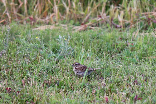 Schwirrammer  - Chipping Sparrow