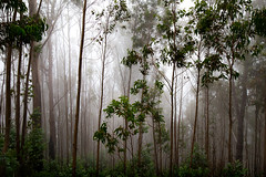 eucalyptus trees (Signorina Z) Tags: madeira landscape nature fog mist eucalyptus trees wood forest leaves