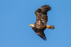 American Bald Eagle (Glenn.B) Tags: 2016 americanbaldeagle bunchebeach florida ftmyers