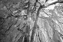 The Elford Beech (Apionid) Tags: weeping beech elford staffordshire infrared ir nikond40 366the2016edition 3662016 day228366 15aug16