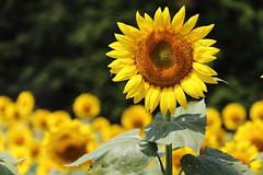 Sunflower (Teruhide Tomori) Tags: nature summer yosano kyoto japan flower sunflower       yellow