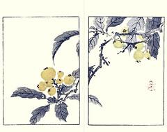 Loquat (Japanese Flower and Bird Art) Tags: flower loquat eriobotrya japonica rosaceae buncho tani nanga woodblock picture book japan japanese art readercollection