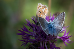 Blue inside, brown outside (Michel Couprie) Tags: macro butterfly insect nature flower light shadow animal canon eos ef10028lmacro papillon colors dof composition hautesalpes france alps michelcouprie