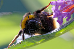 is breakfast here? (scottprice16) Tags: england lancashire wildlife insect bee bombus morning buddleia food summer autumn august canoneos6d sigma 180mmf28macro
