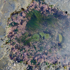 Tide pool flower composition (* K a t e r i n a) Tags: tidepool seaanemone composition