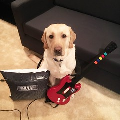 Calvin is ready to rock in his new Music Studio (hero dogs) Tags: rocknroll rock dogrock dogguitar dog labrador cute therapydog servicedog