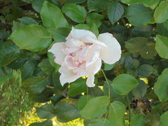 150 (en-ri) Tags: rosa rose rosellina sony sonysti foglie leaves