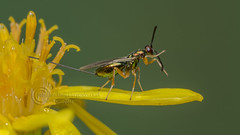 0428  Chalcid Wasp - Torymus sp at Potteric Carr (Pete.L .Hawkins Photography) Tags: chalcid wasp torymus sp potteric carr