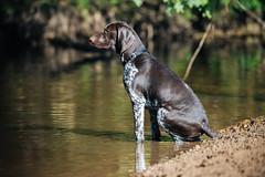 Albert a little unsure about the water still (psxdadz) Tags: gsp puppy german pointer shorthair