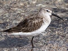 Curlew sandpiper (Hone Morihana) Tags: westerntreatmentplant shorebirds migratorybirds