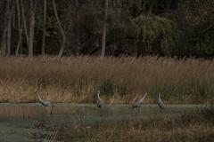 IMG_6882 (abracapocus_pocuscadabra) Tags: birds nature water marsh outdoor midwest sandhillcranes