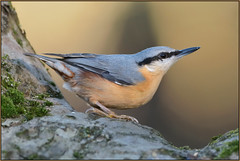 Nuthatch (Full Moon Images) Tags: rspb sandy lodge thelodge wildlife nature reserve bedfordshire bird nuthatch