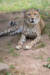 Cheetah (Cloudtail the Snow Leopard) Tags: gepard zoo landau tier animal mammal sugetier katze cat feline big gros raub cheetah acinonyx jubatus