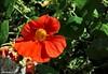 ... Nasturzio (antosti) Tags: veneto sanvito cadore giardino nasturzio tropaeolum majus coltivato arancione verde nikon d70s dolomites orange garden fiore flower