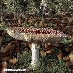 Amanita muscaria {EXPLORED} (Aqua Libra) Tags: fly agaric amanita muscaria vliegenzwam paddenstoel mushroom nature leaf fall herfst season red white roodmetwittestippen 500x500 square samsung mobile s6