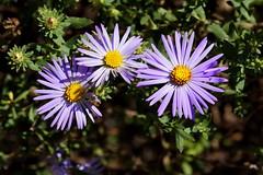 Aster x frikartii (Jim Atkins Sr) Tags: a58 sony aster asterxfrikartii sonya58 flowers flower lavender garden northcarolina nc newbernnc newbern tryonpalace