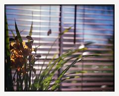 mornings are light (chickentender (Eyewanders Foto)) Tags: fujicolor nghii800 p67 pentax67 blinds blue colornegativefilm cymbidium expired eyewanders eyewandersfoto film flowers fujifilm green leaves mediumformat morninglight orchid photographic sill theanalogueway window yellow
