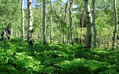 Quaking Aspen and Ferns (Devon Sanderson) Tags: alpineloop utahcounty utah northernutahmountains northernut quakingaspen brackenferns monkshood wildflowers