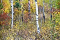 Chaos of Colour (James Shooter) Tags: autumn september usa birch fall grandtetonnationalpark grandtetons silverbirch woodland