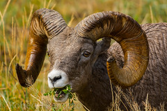 Gimme a head with horns, Long currly horns {Explored} (ChicagoBob46) Tags: rockymountainbighornsheep bighornsheep sheep yellowstone yellowstonenationalpark nature wildlife explore explored