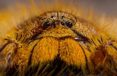David Bowie Spider (San Diego Zoo Global) Tags: sandiegozooglobal2016 animals nature spider arachnid insect sandiegozoo david bowie huntsman