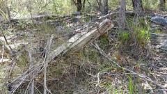 barbed wire barrier_1 (Tony Markham) Tags: barbedwirebarrier militaryhistorymilitaryhistory military 10bfiretrail 10b sevencreekstrack dharawalnationalpark dharawal