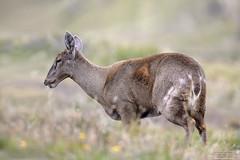 South Andean Deer-Huemul (Hippocamelus bisulcus) Parque Nacional Torres del Paine, Chile 2015 (Ricardo Bitran) Tags: hippocamelusbisulcus southandeandeer huemul parquenacionaltorresdelpaine chile animalsofchile mammalsofchile