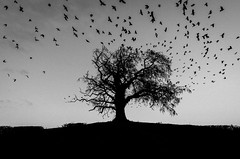 Ode to Hitchcock (qgrainne) Tags: ireland sunset sky blackandwhite white black tree birds silhouette mono atmosphere spooky 500v50f thebirds murder crow hitchcock crows