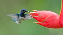 White-necked jacobin (Raymond J Barlow) Tags: travel red green bird ecuador costarica hummingbird wildlife ngc adventure birdinflight raymondbarlow raymondbarlowphototours