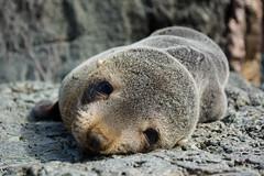 New Zealand Fur Seal Pup (On Instagram @Rachel_Joanne) Tags: newzealand nature fur nikon wildlife seal nz cape northisland pup aotearoa furseal palliser capepalliser sealcolony d5200 purenz racheljoanne