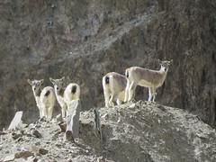 Blue Sheep in Tsarlung (benyeuda) Tags: india nature animal mammal nationalpark wildlife himalayas ladakh hemis jammukashmir jammuandkashmir bluesheep wildsheep bharal hemisnationalpark pseudoisnayaur